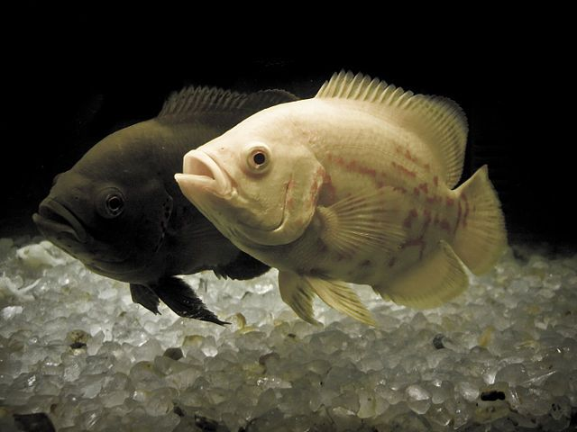 Fact And Complete Information About Oscar Fish…Astronotus ocellatus is a species of fish from the cichlid family known under a variety of common names, including oscar, tiger oscar, velvet cichlid, or marble cichlid. Oscar Fish is a very intelligent kind of fish that can be able to identify its owner. The heavily built Oscar is the all-time choice among aquarium and fish lovers.    It originally came from South America...(continue reading please click an above link)