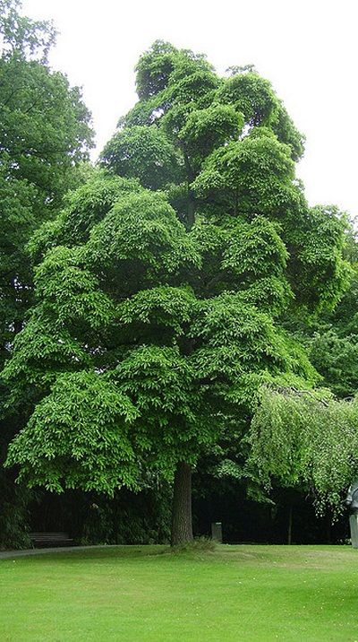 Growing sassafras tree is easy, if space is no problem in your backyard grow this traditional American tree. Before you consider growing sassafras tree, it is important to know some sassafras tree facts and tips.
