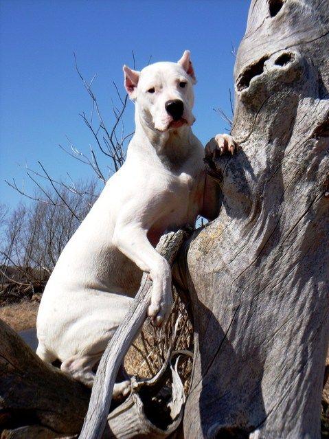 #Argentinian #dog