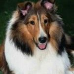 Kid Friendly Dogs - Collie