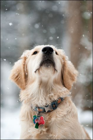 Snowy Golden~ love!