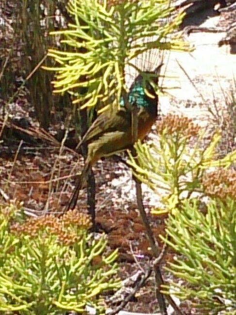 Sugarbird on Table Mountain