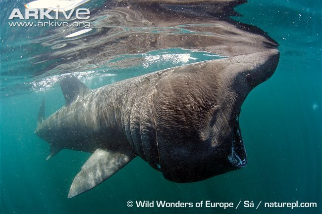 The basking shark (Cetorhinus maximus)is the second largest fish in the seas, after the whale shark (Rhincodon typus); its maximum size is thought to be at least 10 metres long. This creature...