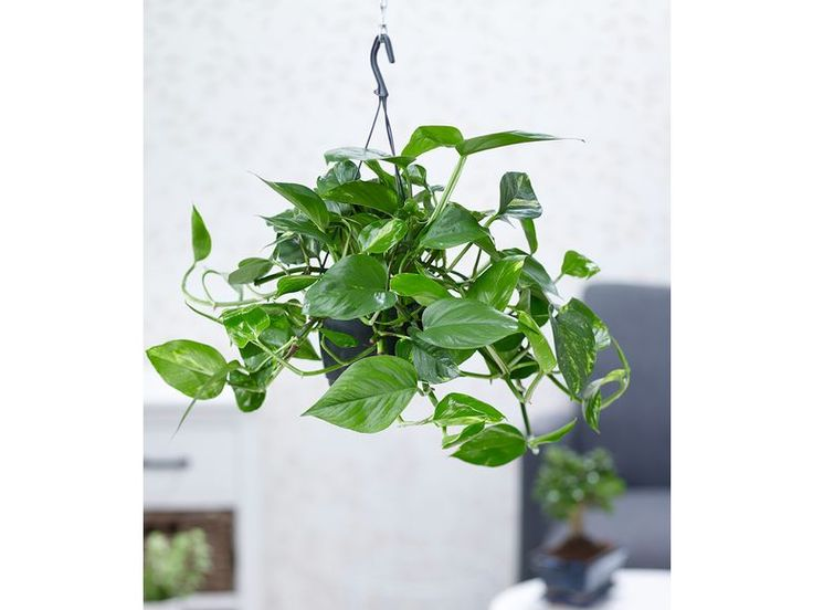 Hangepflanze Efeutute 1 Pflanze 1 Hangepflanzen Pflanzen Efeutute