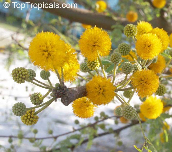 Acacia farnesiana, Mimosa farnesiana, Yellow Mimosa, Sweet Wattle