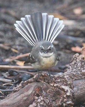 A grey fantail displays the feature that gave it its name. Known to the Noongar as gadjinnak, grey fantails are found throughout Australia and the islands of the southwest Pacific.