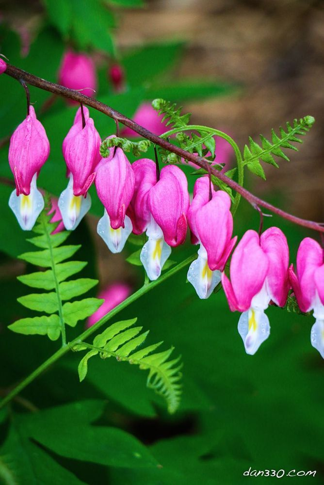 Spectacular Bleeding Hearts Tips for Growing and Pictures Too