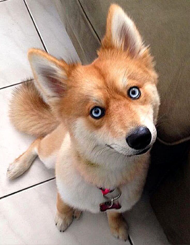 unique-and-adorable-dog-mixes,Husky-Pomeranian Mix