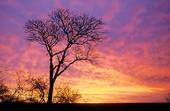 Kruger National Park scene, Sunset with White Seringa tree .....Mpumalanga, South Africa.