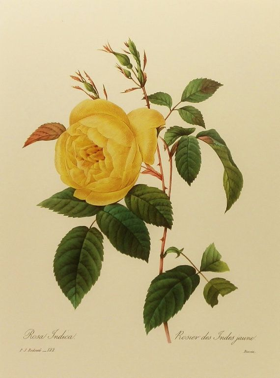 Vintage Rose Botanical Illustration, Yellow India Rose, Redoute Flower Print (9x12 to Frame) No. 122