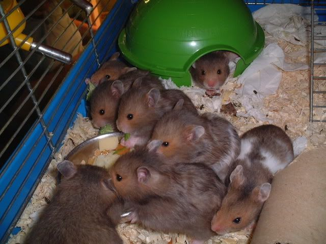 hamsters at petsmart for sale | Cages for kingdom as well hamster hamstersdwarf hamsters ads with ...