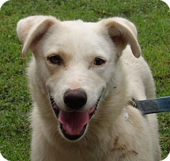 Williamsport, MD - Husky/Labrador Retriever Mix. Meet Lambchop (45 lb) Sweet Beauty, a dog for adoption. http://www.adoptapet.com/pet/18847000-williamsport-maryland-husky-mix