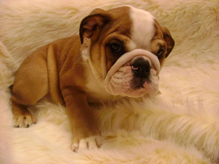 dog, bulldog ingles, cute