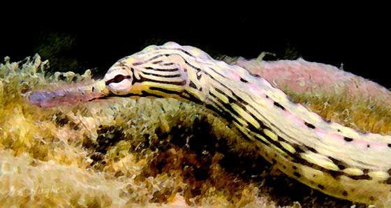pipefish marine and freshwater life Pinterest