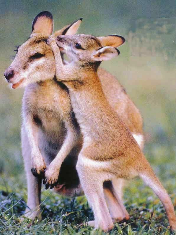 Wallabies.. Let me whisper in your ear