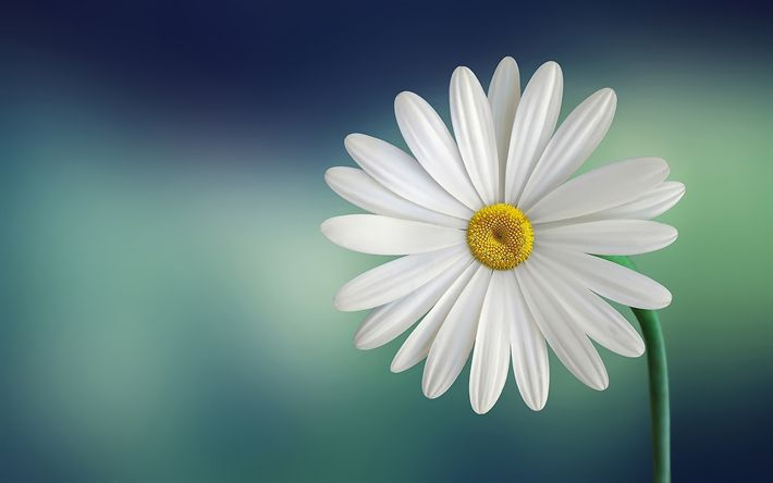 Download wallpapers daisy, bokeh, bellis perennis, white flower, close-up
