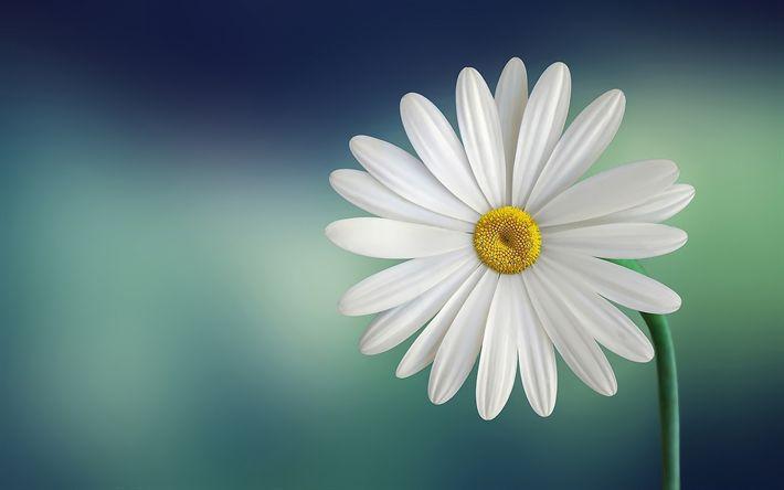 Descargar fondos de pantalla daisy, bokeh, bellis perennis, flor blanca, close-up