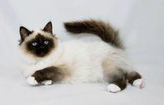 Birman | ... high standards return from birman kittens for sale to felonie birmans