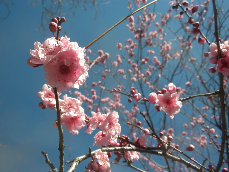 Peach blossoms, March