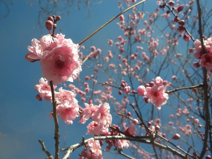 Peach blossoms, March