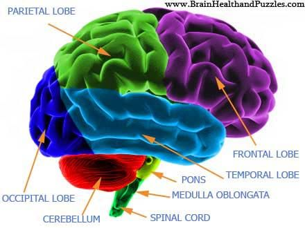 Google Image Result for http://ptsdtraumahopehealing.com/wp-content/uploads/2012/03/brain2.jpg