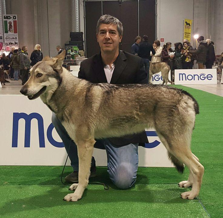 SAPHIRA BJARTSKULAR DI FOSSOMBRONE 1º Ecc. CACIB & Best of Breed alla Expo' Internazionale Canina di Biella 2017 🐺🐾🏆