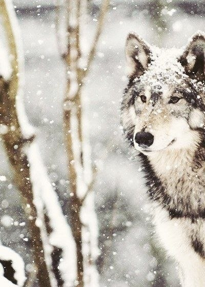 These image contains two things I love: winter and a wolf. Wolves are important dream symbols and interesting, smart predators.