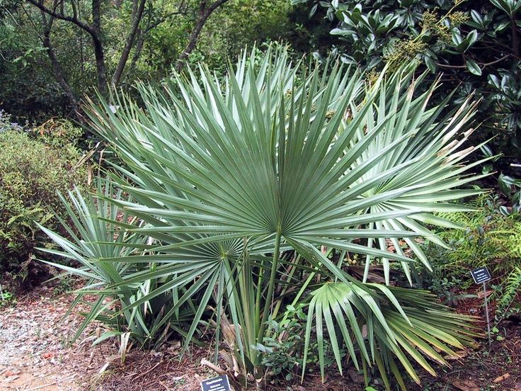Sabal Minor or dwarf palmetto