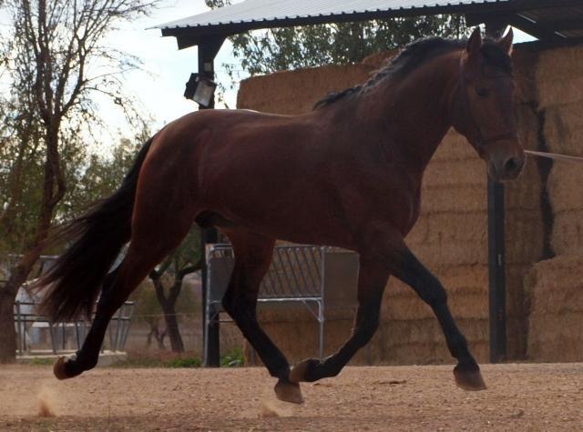 GRAN CABALLO DE TRES AÑOS Y MEDIO CON MUY BUENOS MOVIMIENTOS Y MUY BUEN CARACTER. TROTE ELEVADO Y MUY AMPLIO, BUEN PASO,  GALOPE CUESTA ARRIBA. MUY BUENA ALZADA. ¡ UN CABALLO PARA DISFRUTAR'.  http://www.equirodi.es/anuncios/caballo-en-venta/venta-de-caballos-pre-160102.htm