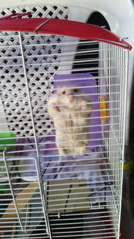 Very cute dwarf hamster Fer climbing | Hamsters, cages ...  Very cute dwarf...