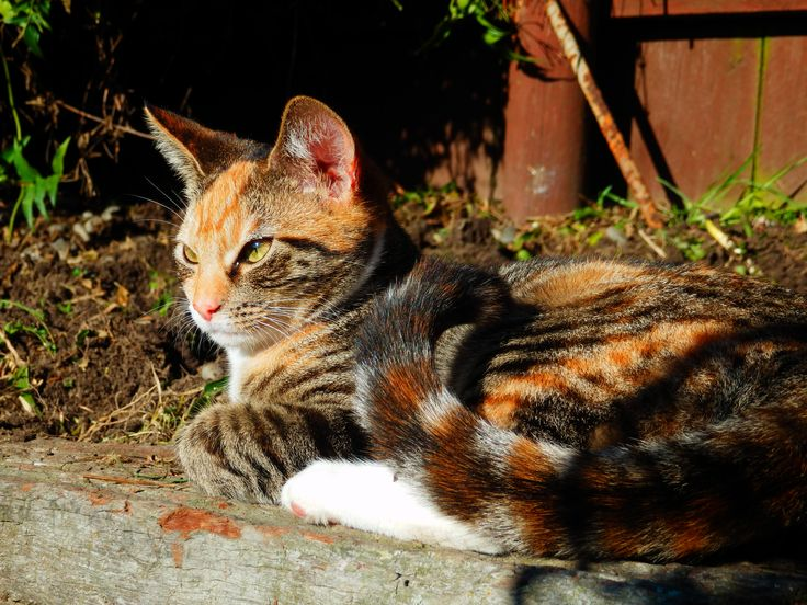 Cute Calico Ginger Kitten Molly
