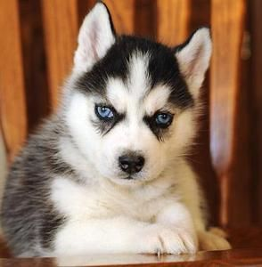 This dog , blue eyed siberian Husky <3 I think they are SO cute ! One will be apart of my home <3