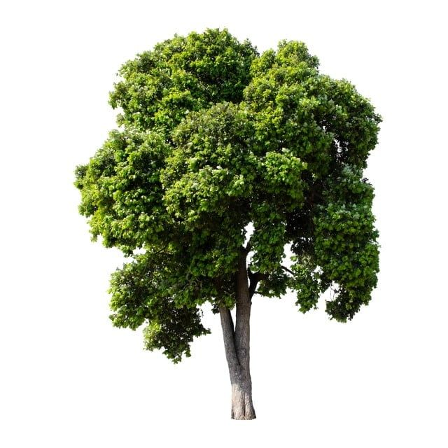 Isolate Trees On White Background Plant Clipart Nature Collection Of Trees Png Transparent Clipart Image And Psd File For Free Download Tree Photoshop Garden Clipart White Background