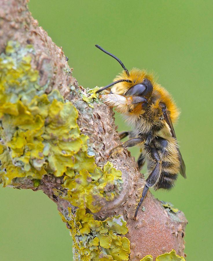 Willughby's Leafcutter Bee ( Megachile willughbiella )