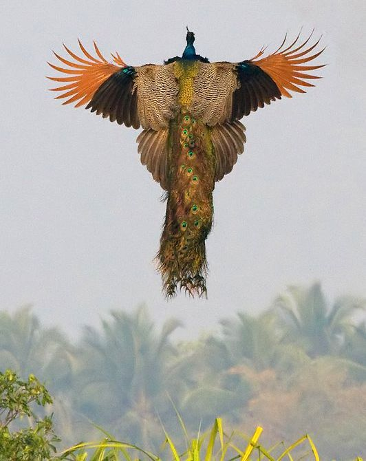 A rare image of a flying peacock. Truly amazing photograph!