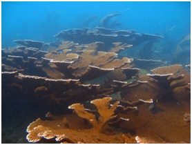 Endangered elkhorn coral characterize the Capiro Banks area of Tela's reefs.