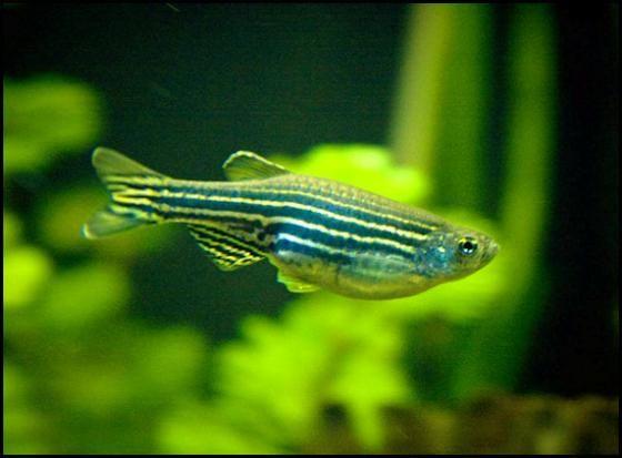 Zebrafish certainly a wonder fish!