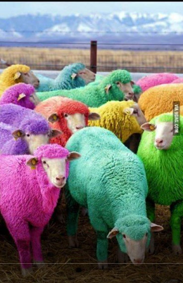 Farmer in Scotland dyes sheep with NON-TOXIC dye to entertain passing motorist.....What a fine fellow! TR