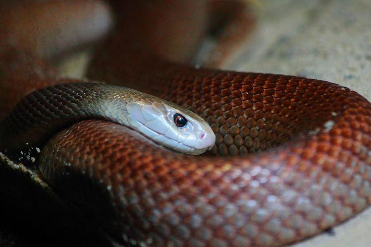 Coastal Taipan 3rd Most Venomous Snake In The World