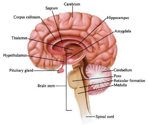 reticular formation에 대한 이미지 검색결과