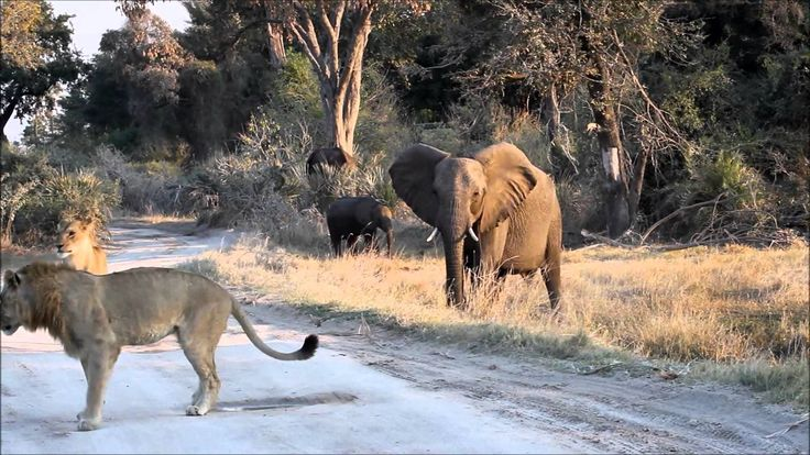 Mombo Roadblock. #Safari #Africa #Botswana  #WildernessSafaris
