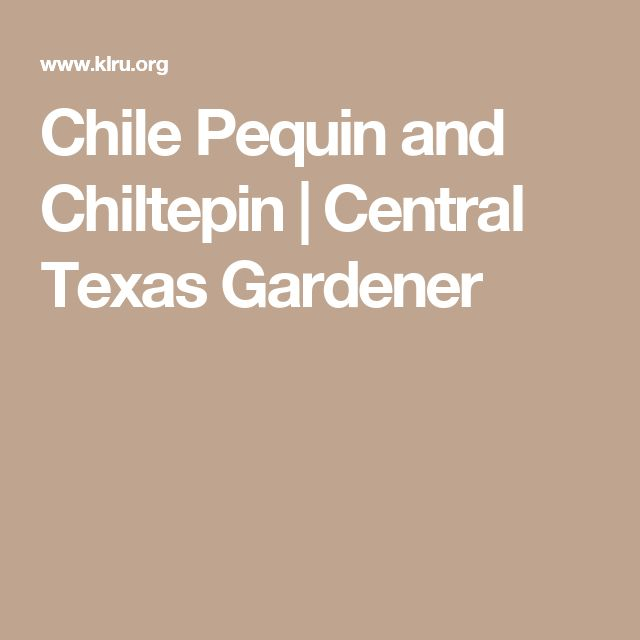 Chile Pequin and Chiltepin  |  Central Texas Gardener