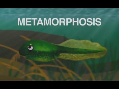"""Metamorphosis (Tadpole Into a Frog)"" song about frog life cycle for elementary students"