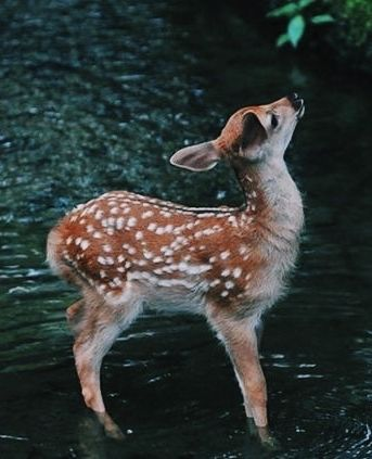 Curious little fawn is so cute she looks like a Disney character.