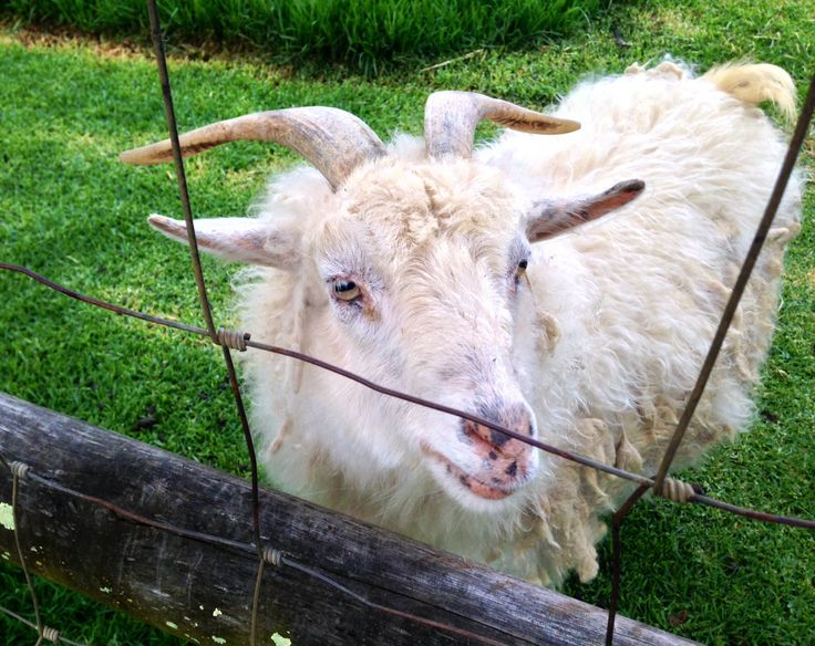 Old Angora goat - cheese farm Stanford