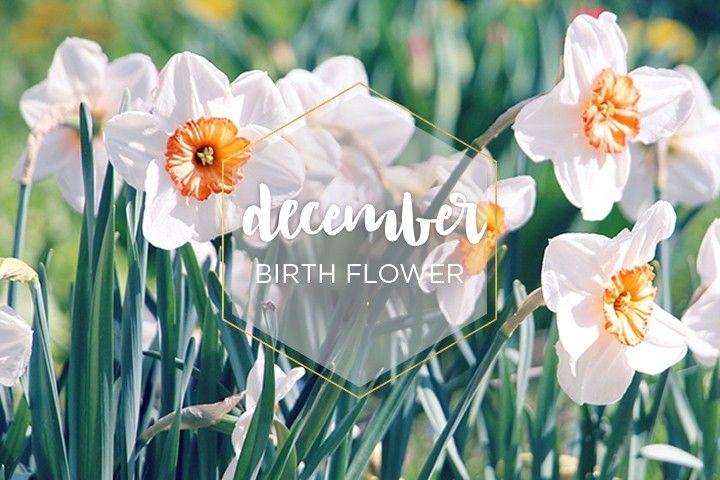 december birthday flower - 720×480