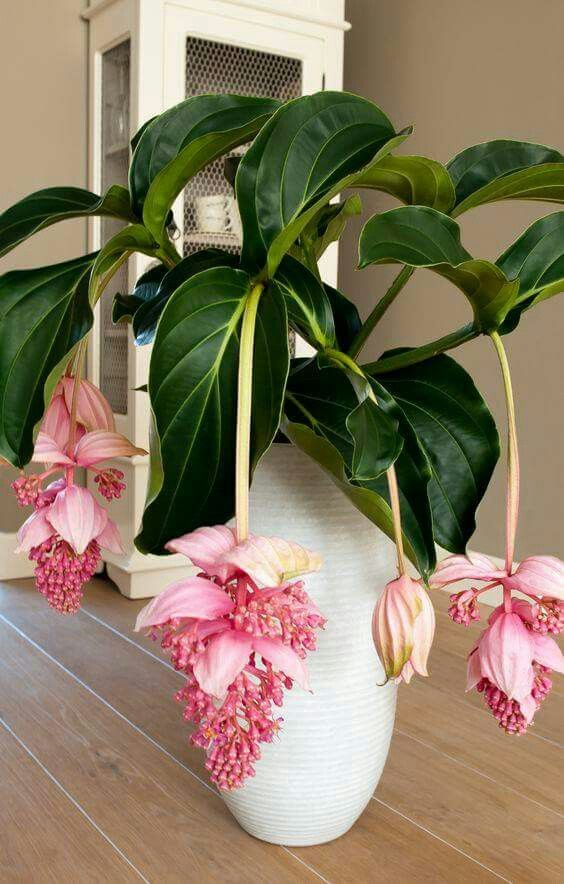 One word for this Medinilla Magnifica? :) Too Beautiful not to Share.