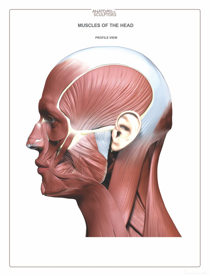 Neck Anatomy Diagram Face - Search For Wiring Diagrams •