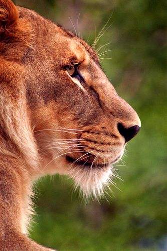 Female Lion Profile | by sunspotimages