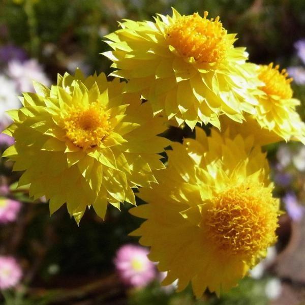 Waitzia acuminata (yellow)